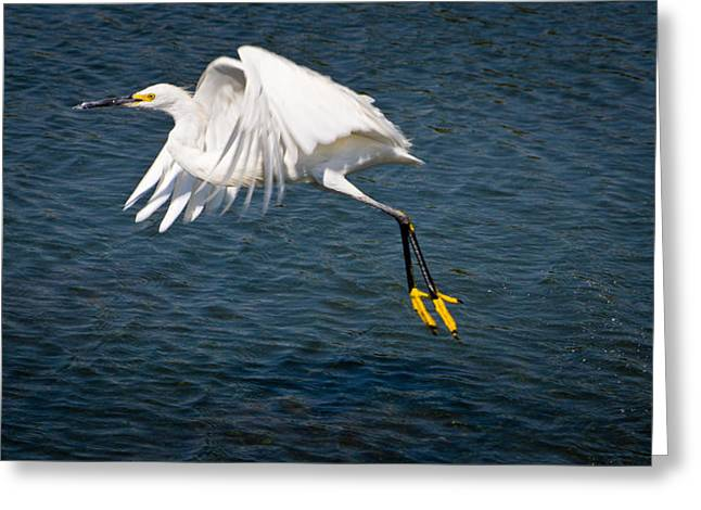 Greeting Card featuring the photograph Egret Aloft by Janis Knight