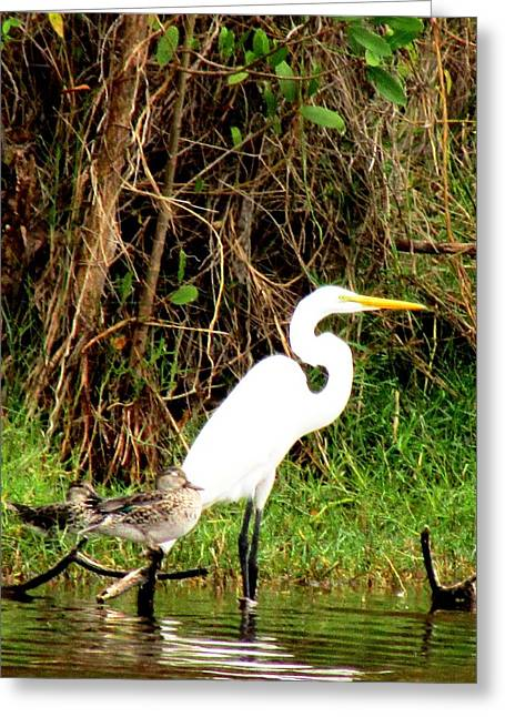 Egret And Ducks 2 Greeting Card by Will Boutin Photos