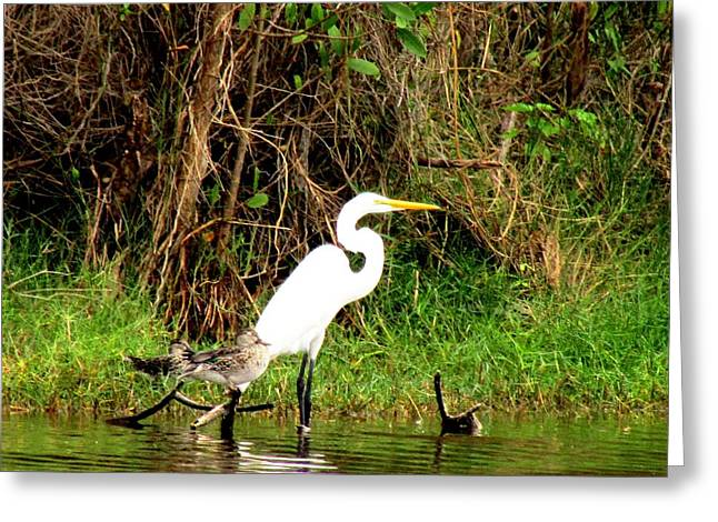 Egret And Ducks Greeting Card by Will Boutin Photos