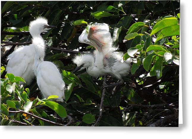 Egret Chicks Greeting Card by Ron Davidson