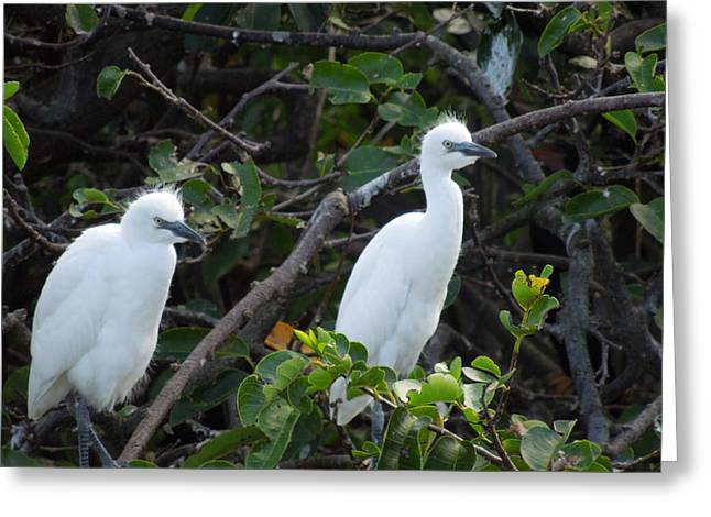 Egret Chicks Waiting To Be Fed Greeting Card by Ron Davidson