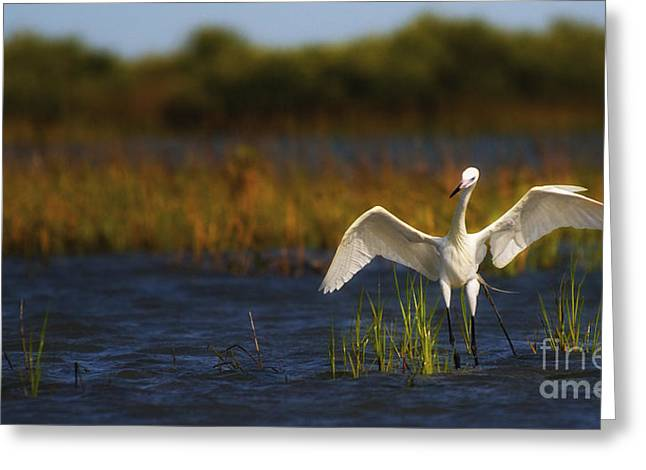 Egret Dancer Greeting Card