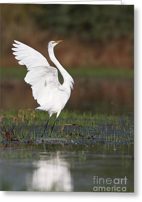 Egret Dancing Greeting Card
