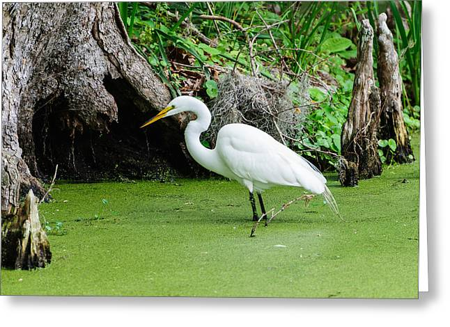Egret Fishing Greeting Card