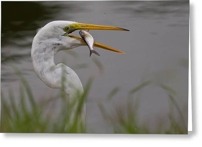 Greeting Card featuring the photograph Egret Having Lunch by Jerry Gammon