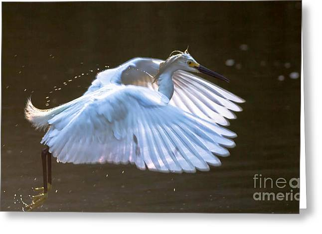 Egret In Flight II Greeting Card