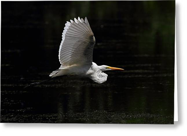 Egret In Flight Greeting Card by Mike Farslow