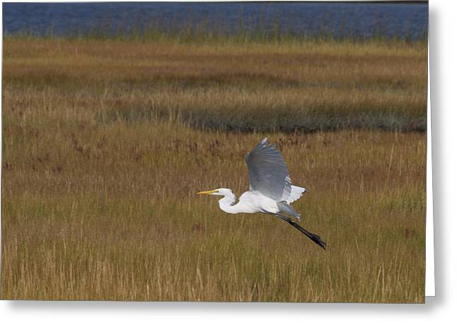 Egret In Flight Over Swamp Grass Greeting Card