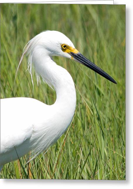 Greeting Card featuring the photograph Egret In The Sound by Greg Graham