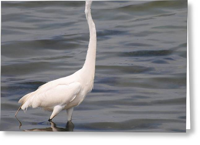 Egret On Alert Greeting Card