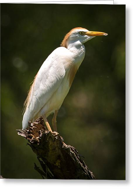 Cattle Egret Perched On Dead Branch Greeting Card