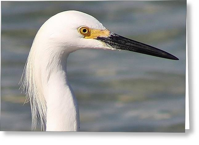 Egret Portrait Greeting Card by Bruce Bley