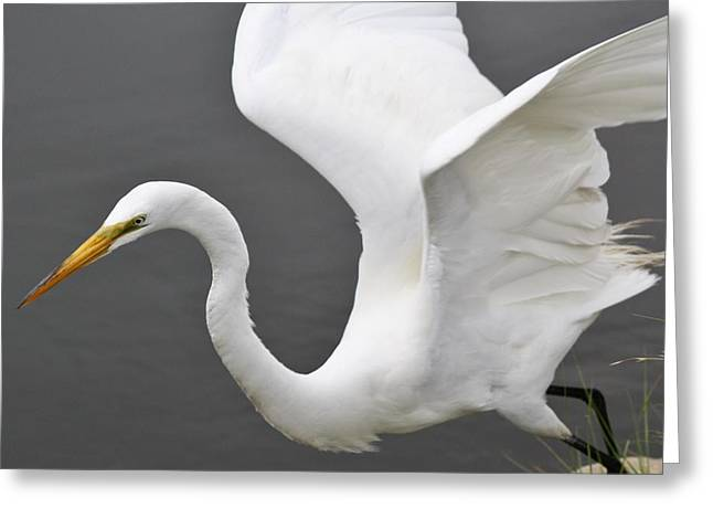 Egret Take Off Greeting Card by Paulette Thomas