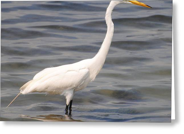 Egret Wading And Watching Greeting Card