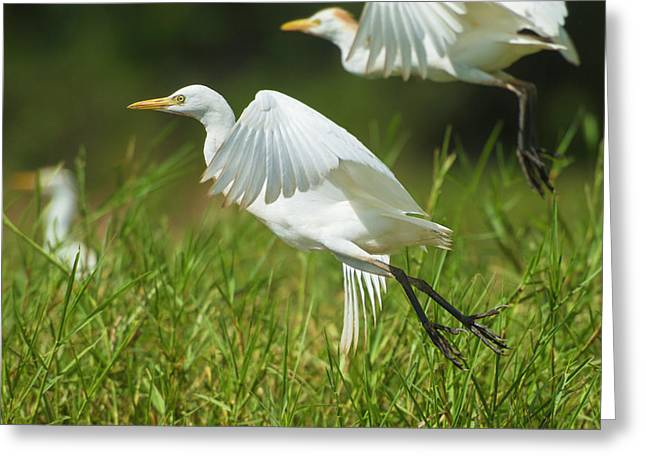 Egrets Taking Flight, Liwonde National Greeting Card