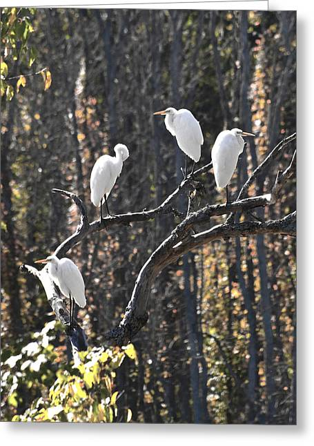 Egrets Greeting Card by Valerie Wolf