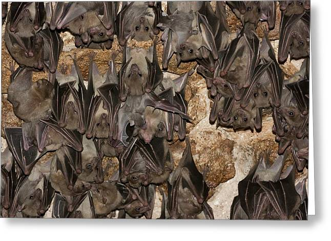 Egyptian Fruit Bat Rousettus Aegyptiacus Greeting Card by Photostock-israel
