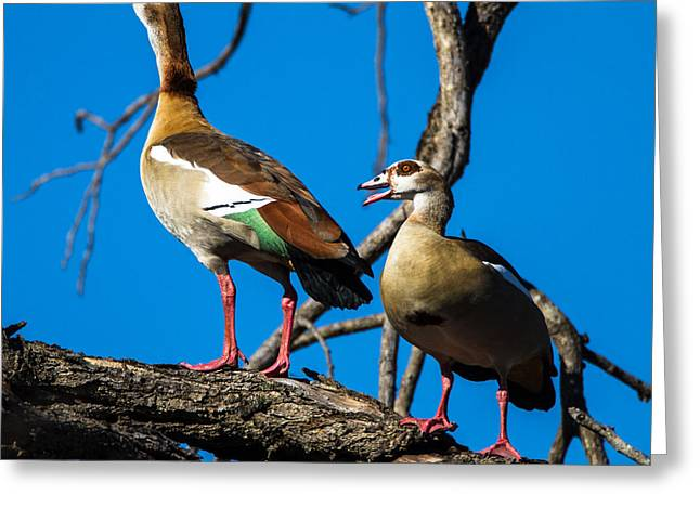 Egyptian Geese Greeting Card by Craig Brown