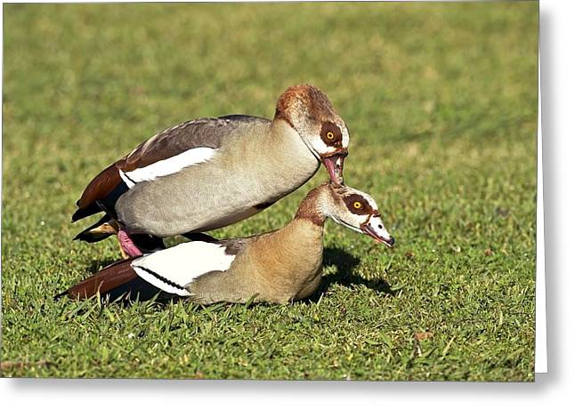 Egyptian Geese Mating Greeting Card