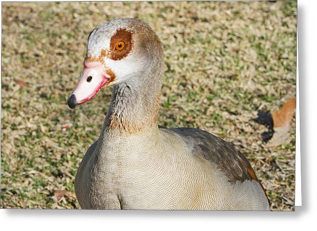 Egyptian Goose  Greeting Card by Shoal Hollingsworth
