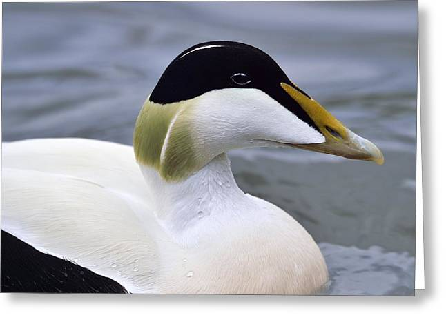 Eider Up Greeting Card by Tony Beck