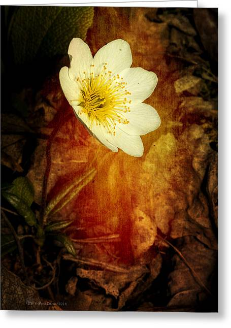 Eight Petal Dryas Greeting Card