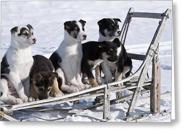 Eight Week Old Iditarod Husky Pups Sit Greeting Card by Jeff Schultz