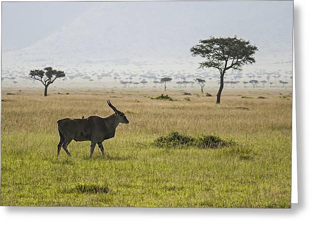 Greeting Card featuring the photograph Eland In Masai Mara by Antonio Jorge Nunes
