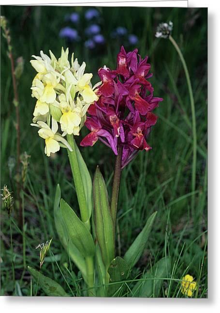 Elder-flower Orchid Greeting Card