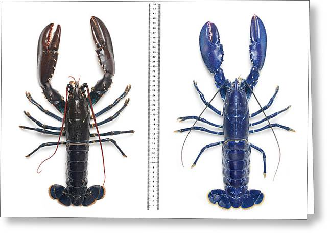 Electric-blue European Lobster Greeting Card by Natural History Museum, London
