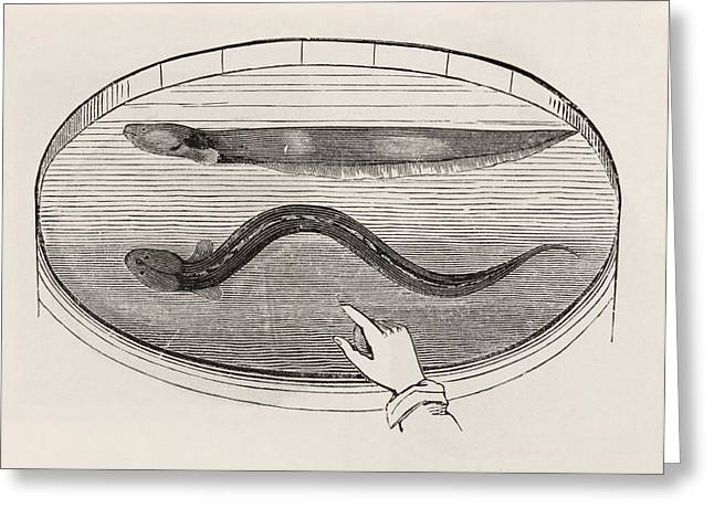 Electric Eel In A Tank Of Water Greeting Card by King's College London