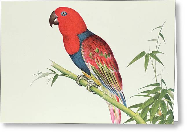 Electus Parrot On A Bamboo Shoot Greeting Card by Chinese School
