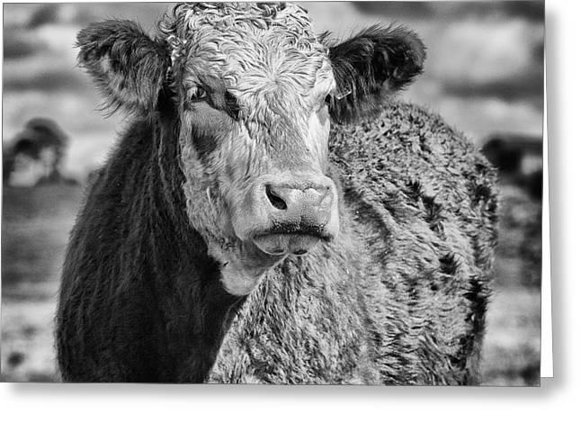 Elegant Cow Greeting Card by John Farnan