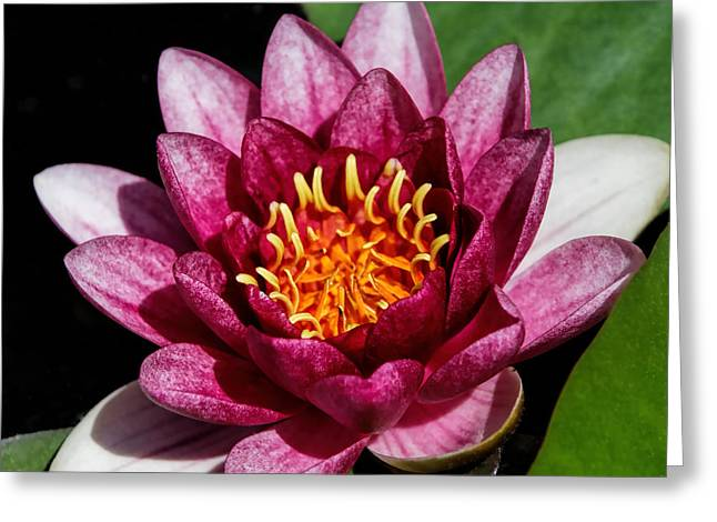 Elegant Lotus Water Lily Greeting Card