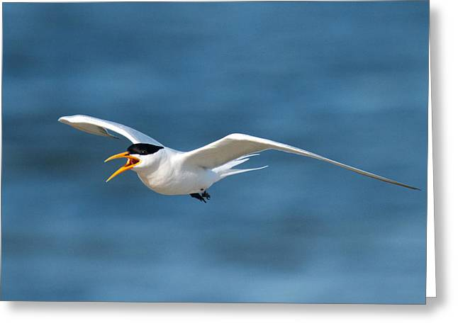 Elegant Tern Greeting Card