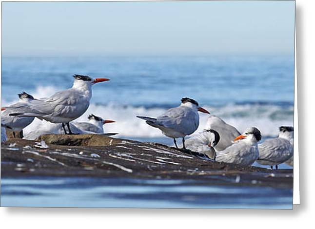 Elegant Terns La Jolla Greeting Card