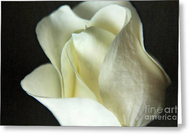 Elegant White Rose Textured Greeting Card