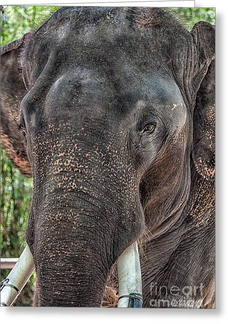 Elephant Greeting Card by Adrian Evans