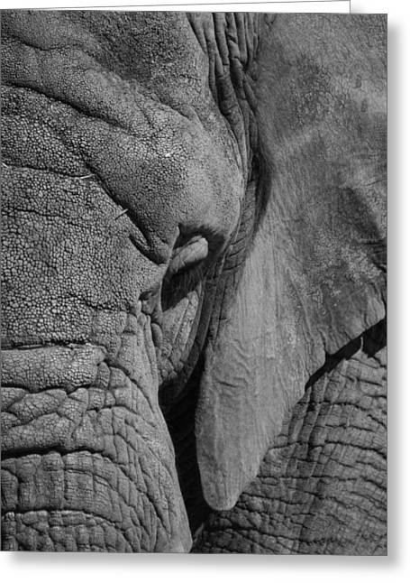 Elephant Bw Greeting Card