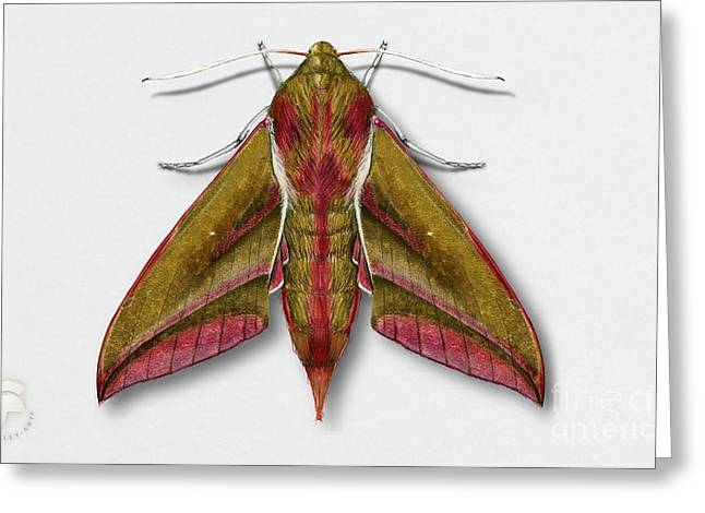Elephant Hawk Moth Butterfly - Deilephila Elpenor Naturalistic Painting - Nettersheim Eifel Greeting Card by Urft Valley Art