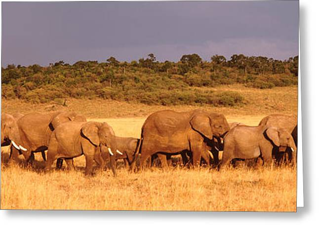 Elephant Herd On A Plain, Kenya, Maasai Greeting Card by Panoramic Images