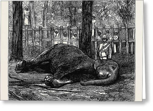 Elephant Hunting In Ceylon Cow Elephant Secured In Corral Greeting Card by English School