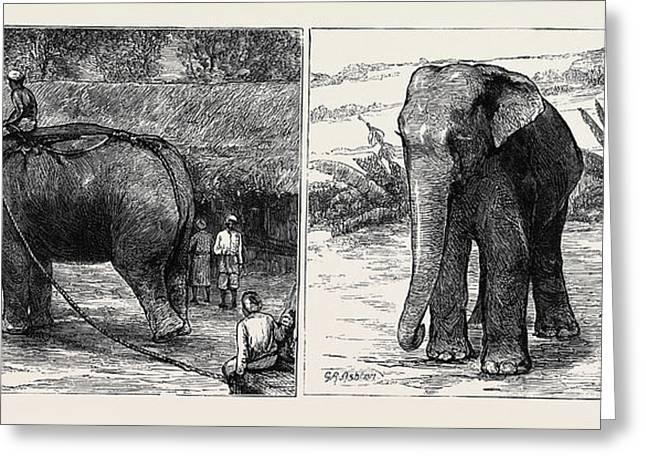 Elephant Hunting In Ceylon Left Image A Tame Elephant Greeting Card by English School