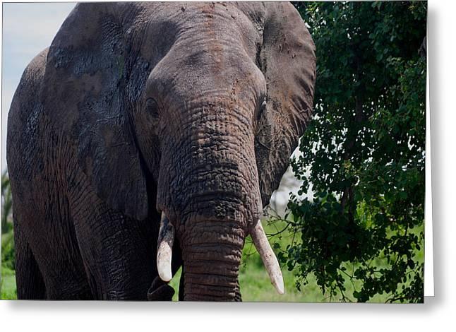 Elephant Greeting Card by Jim Heath