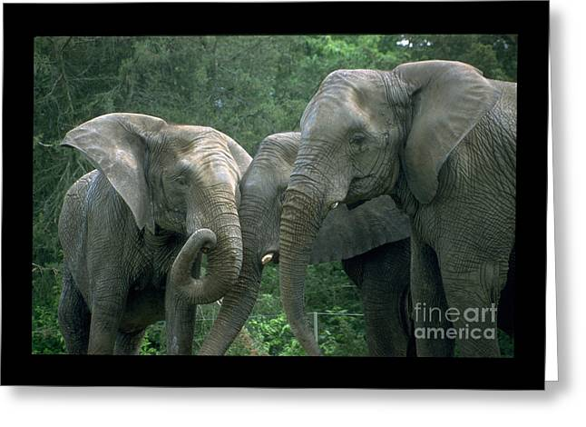 Elephant Ladies Greeting Card by Gary Gingrich Galleries