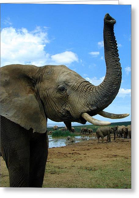 Elephant Posing Greeting Card