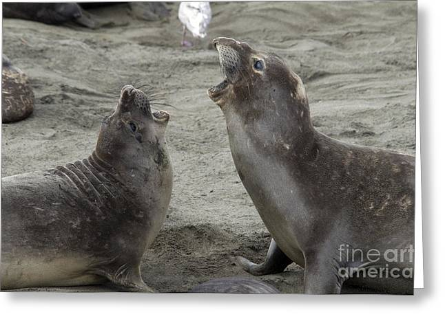 Elephant Seal Confrontation Greeting Card by Mark Newman