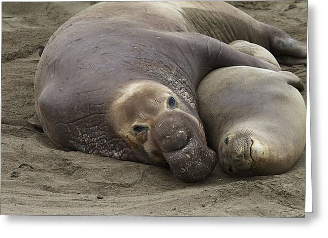 Elephant Seal Couple Greeting Card by Duncan Selby