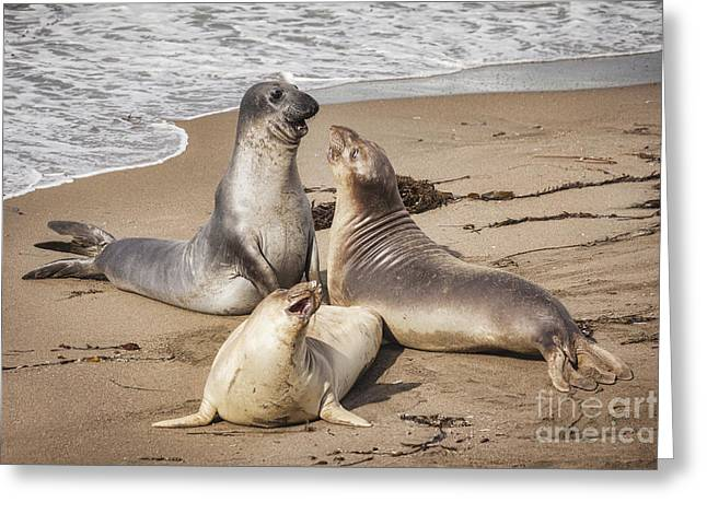Elephant Seals Greeting Card by Colin and Linda McKie