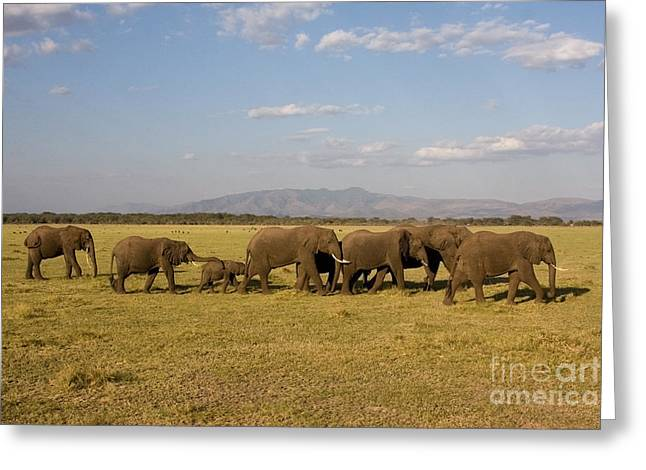 Greeting Card featuring the photograph Elephants At Lake Manyara by Chris Scroggins